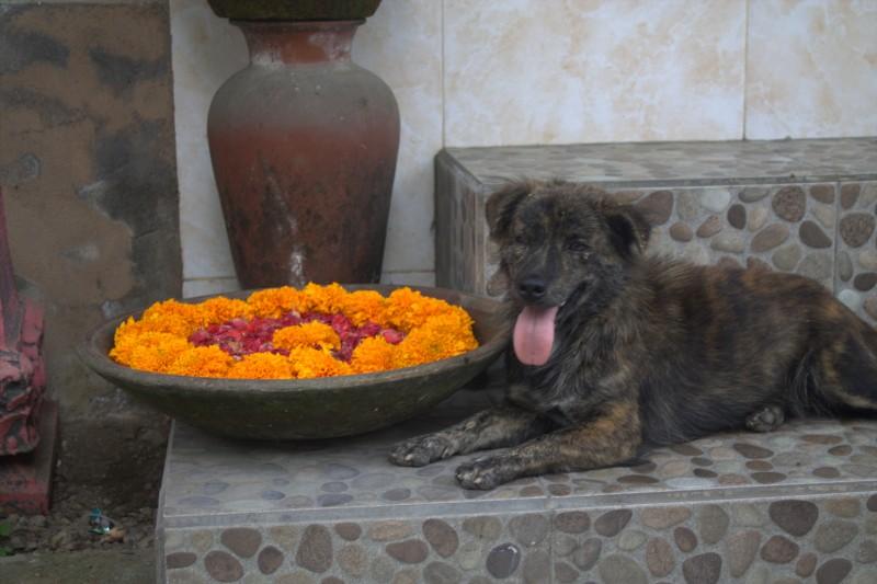 Stray dog in Bali