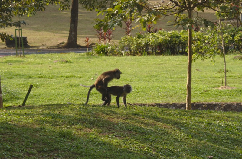 Monkeys having fun, Kuala Lumpur