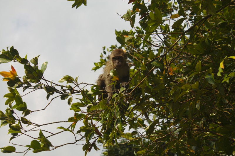 Monkey watching us from a tree, Kuala Lumpur