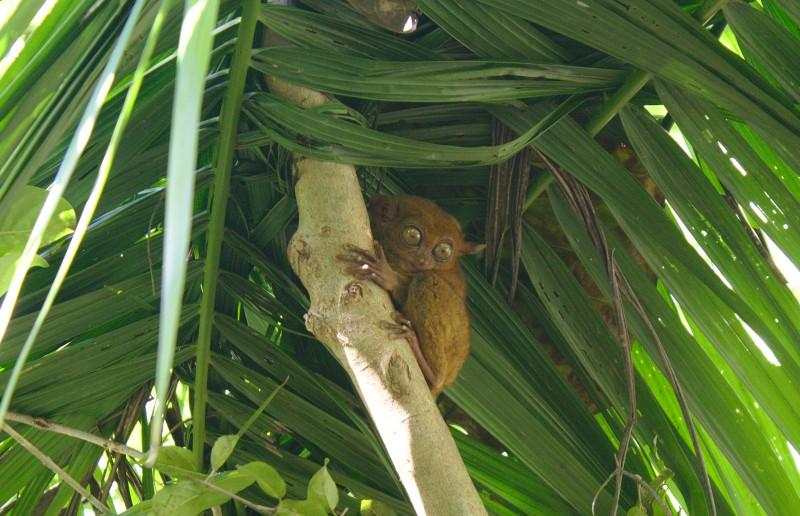 Tarsier monkey of Bohol