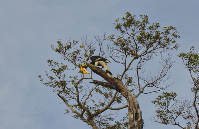 Wild toucan in Bokor National Park