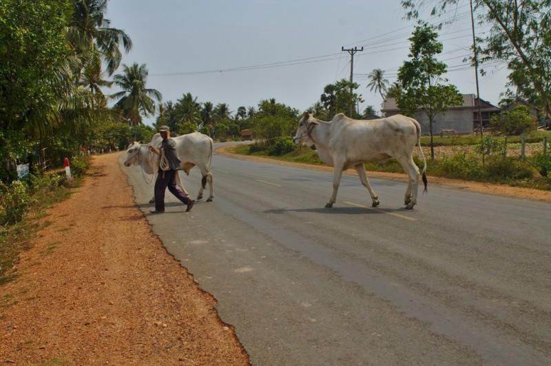 Kep cattle crossing