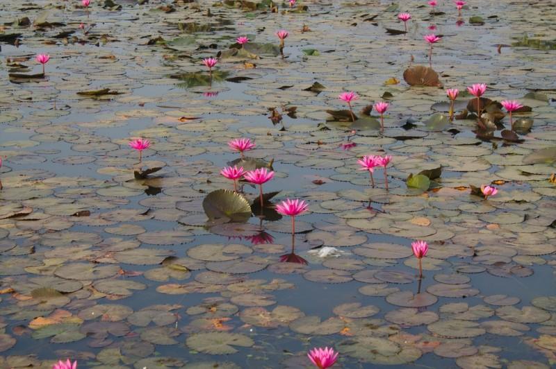 Lily pond at Angkor Wat