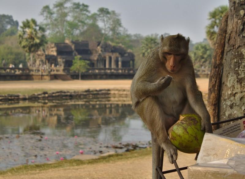 Monkey eating coconut at Angkor Wat
