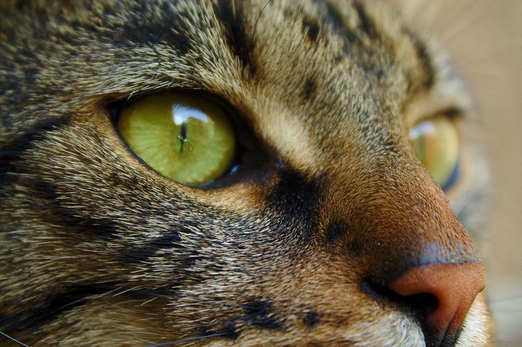Muro the cat close up – Catsitting in Prague