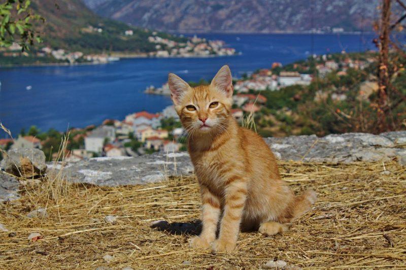 Montenegro, Kotor, cat