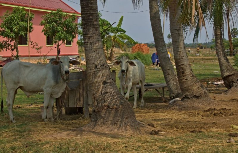 Grazing cows in the hinterland of Kampot, Cambodia
